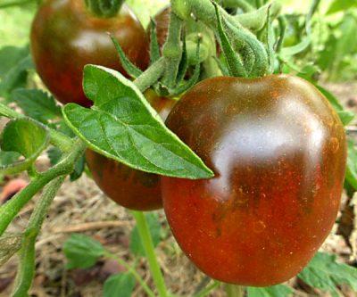 Salattomate De Berao schwarz