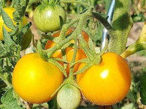 Goldene Königin Salattomate