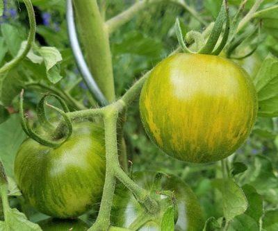 Grün Gelb Gestreifte, Salattomate