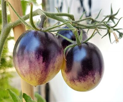 Salattomate_White_Purple