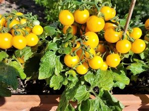Yellow Canary kleine Buschtomate