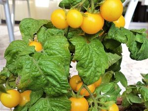 Aztek, gelbe Balkontomate, gelbe Buschtomate, samenfeste Tomatensorte