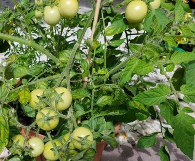 Drei Käse Hoch Buschtomate mit grünen Tomaten