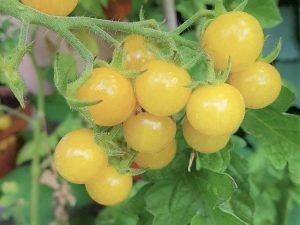 Bianca, süße Cocktailtomate, samenfeste Tomate