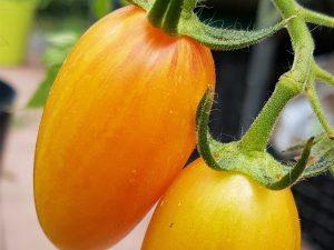 Blush Tiger, Tomaten aus Kurpfalz