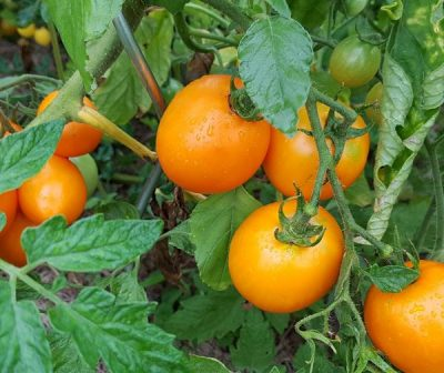 Azoychka Fleischtomate, historische Sorte, russische Sorte, sortenrein, Tomate mit besonderem Aroma