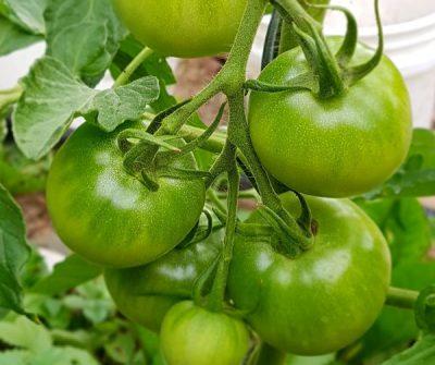 Tomate Rutgers, historische Tomatensorte, samenfeste Tomate, guter Ertrag