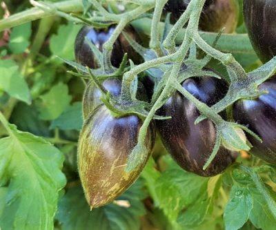 Brad's Atomic Grape unreif, größere längliche Tomate l