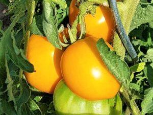 Gelbe Peruanische Fleischtomate mit festem Fruchtfleisch, samenfest