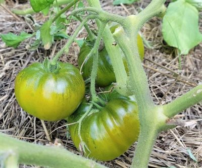 Green Moldavan Fleischtomate, samenfeste Tomatensorte, würziges Aroma