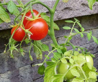 Lambada niedrige Buschtomate von Tomaten aus Kurpfalz