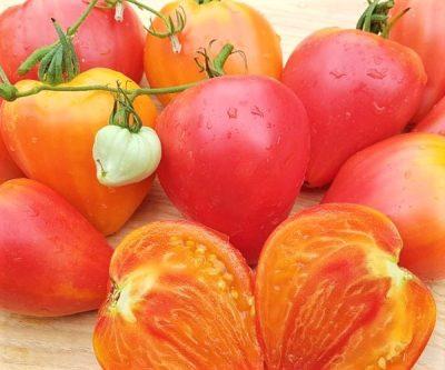 Orange Russian, orange gelb rot marmorierte Fleischtomate