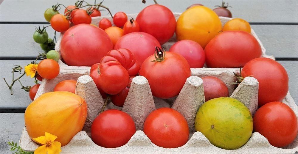 Tomaten nachreifen lassen, Tomatensaison verlängern bis in den Winter