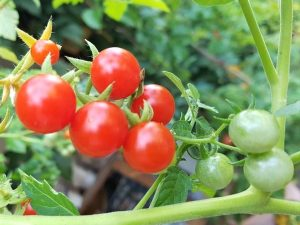 Tess´s Land Race Currant rote Wildtomate