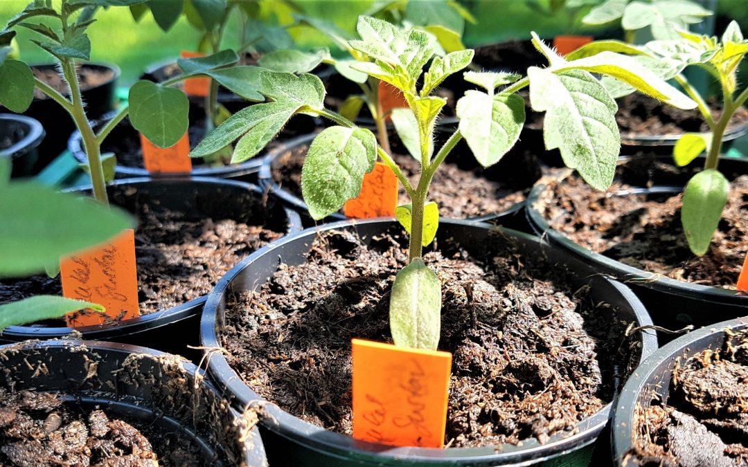 Tomaten selbst ziehen – in jedem steckt ein Gärtner
